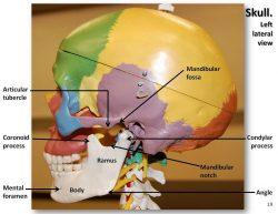 Tmj anatomy images